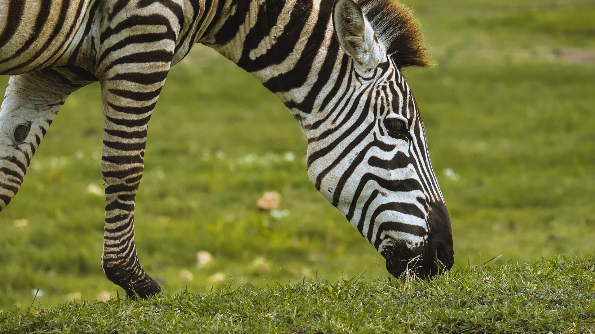 A zebra eating the green grass at the bottom of the cater in the Ngorongoro Conservation Area, Tanzania