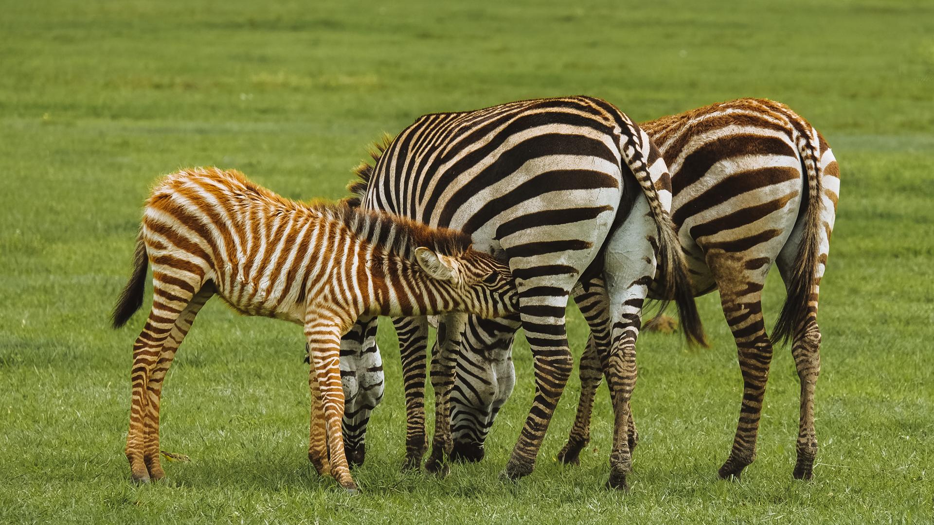 A zebra family with a baby zebra