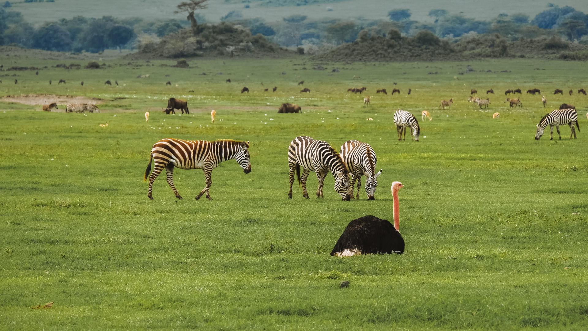 An ostrich with zebras