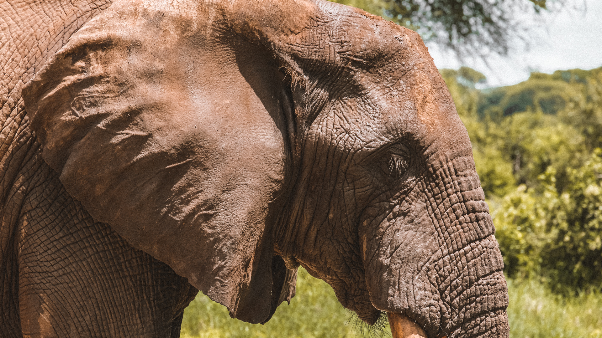 An African bush elephant close and personal in the Serengeti National Park, Tanzania