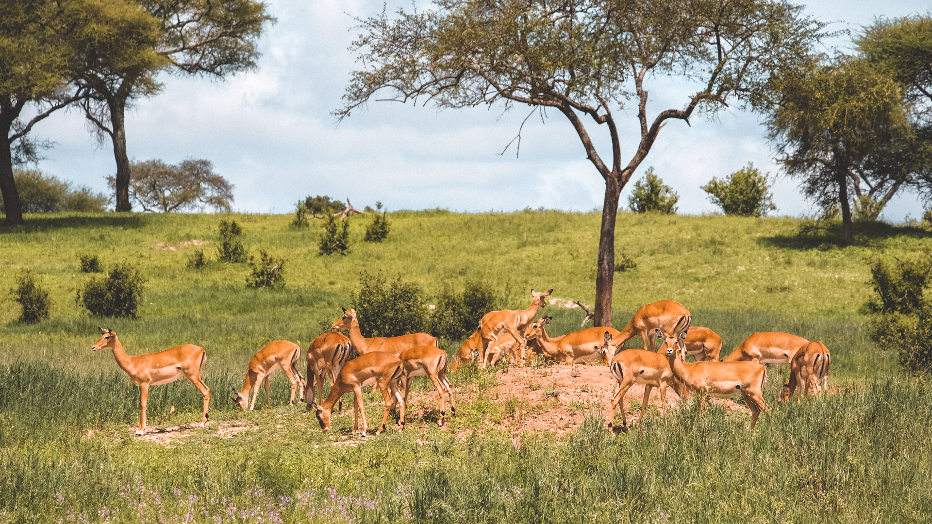 Passing a beautiful herd of female impalas, the most common antelopes in the Serengeti National Park, Tanzania