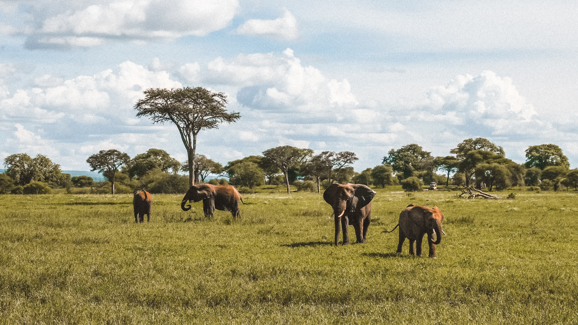 Mommas with young calf elephants in the Serengeti National Park, Tanzania
