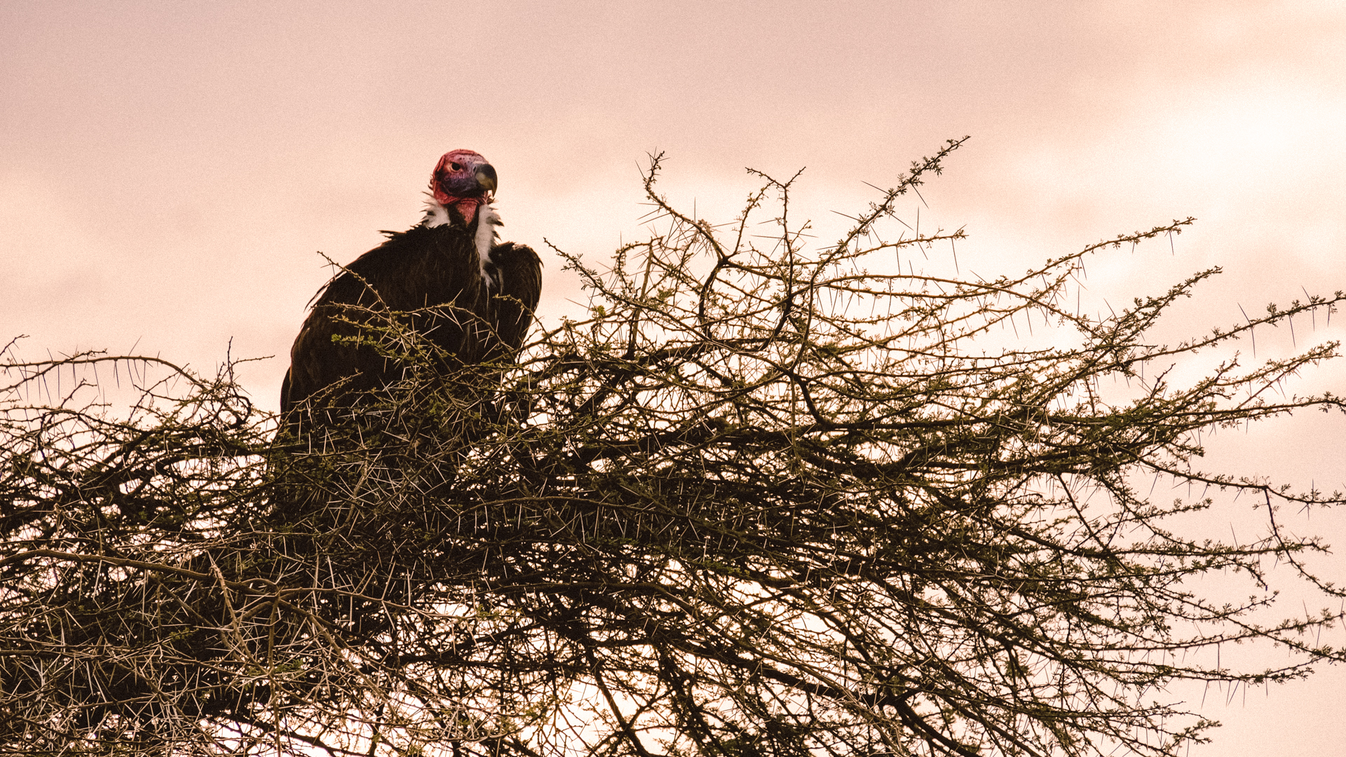 A pink-headed lappet-faced vulture / Nubian vulture sitting in an acacia tree, waiting for its dinner, in the evening in the Serengeti National Park, Tanzania