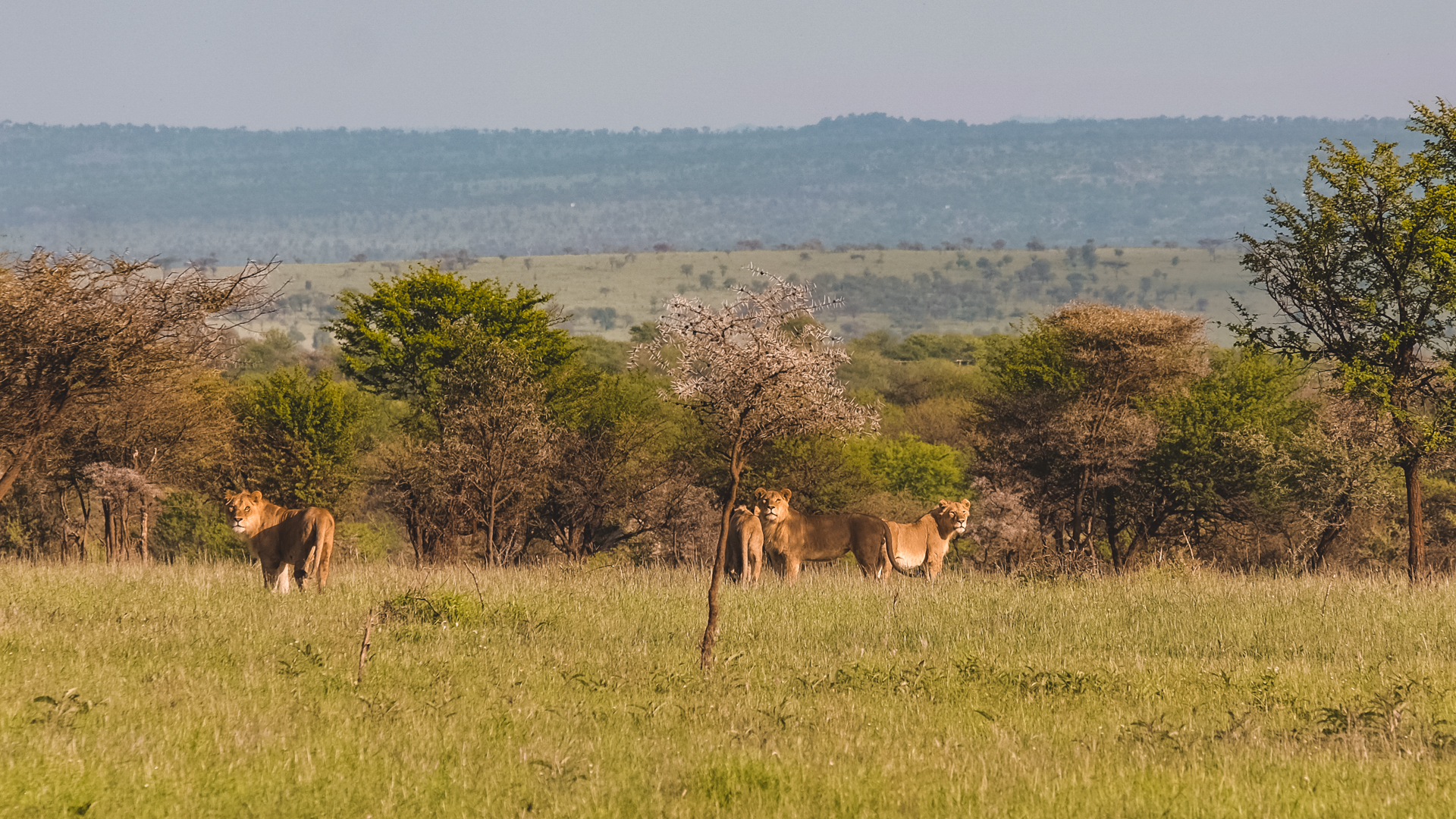 Four female lions checking us out from a distance in the Serengeti National Park, Tanzania