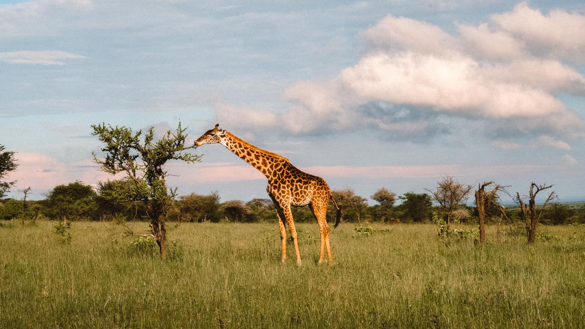 A lone giraffe eating off an acacia tree in the Serengeti National Park, Tanzania