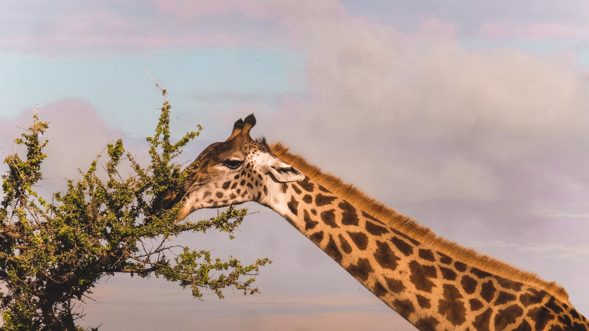 Close-up of a giraffe eating off an acacia tree in the Serengeti National Park, Tanzania