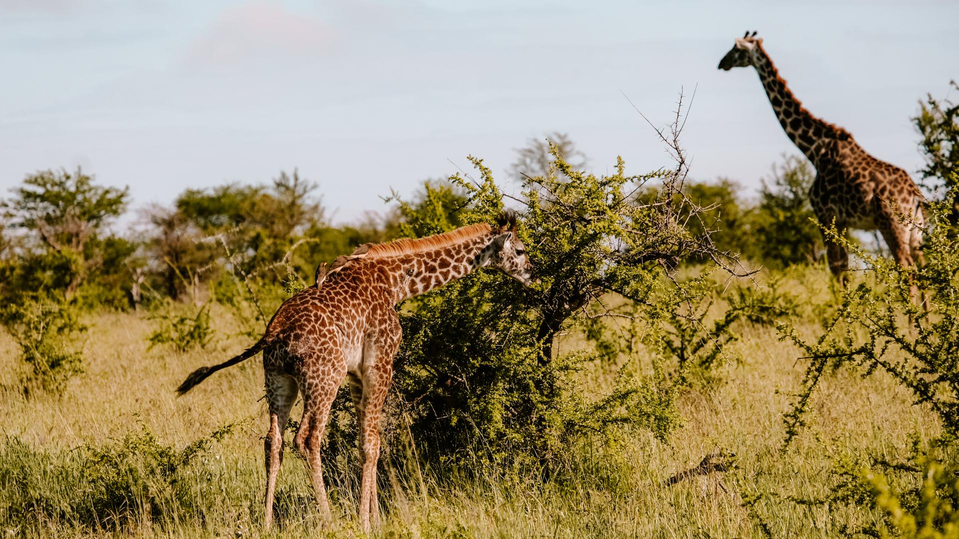 A young Masai giraffe eating off an acacia bush in the Serengeti National Park, Tanzania