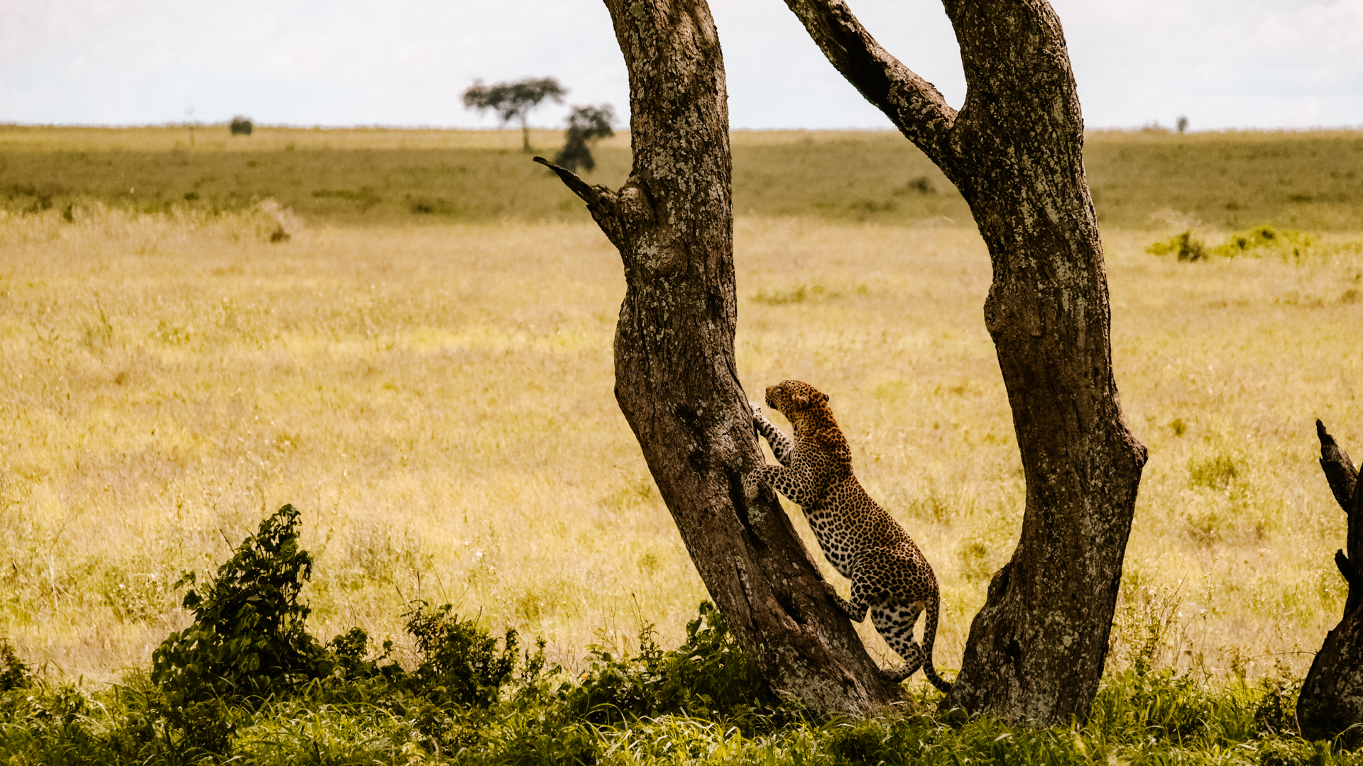 A African leopard climbing up a tree in the Serengeti National Park, Tanzania