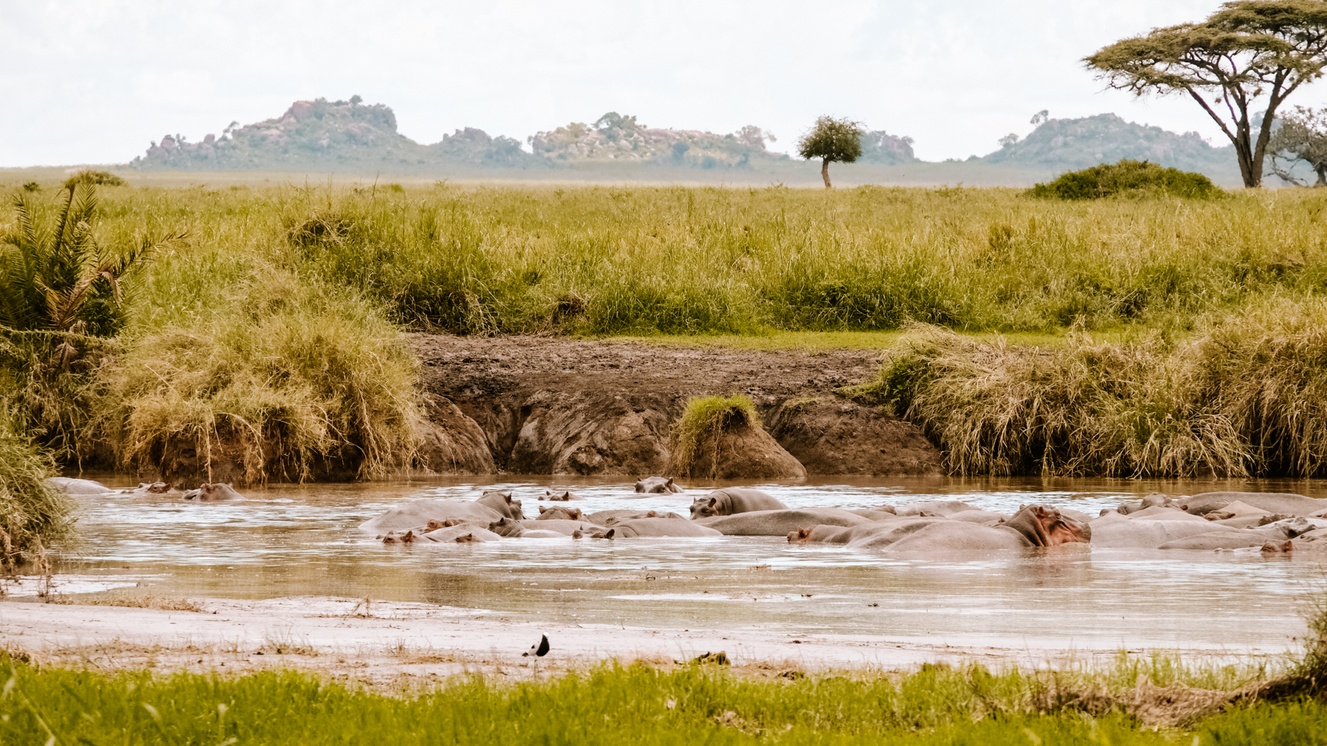 A bunch of happy hippos having the time of their lives in the Serengeti National Park, Tanzania