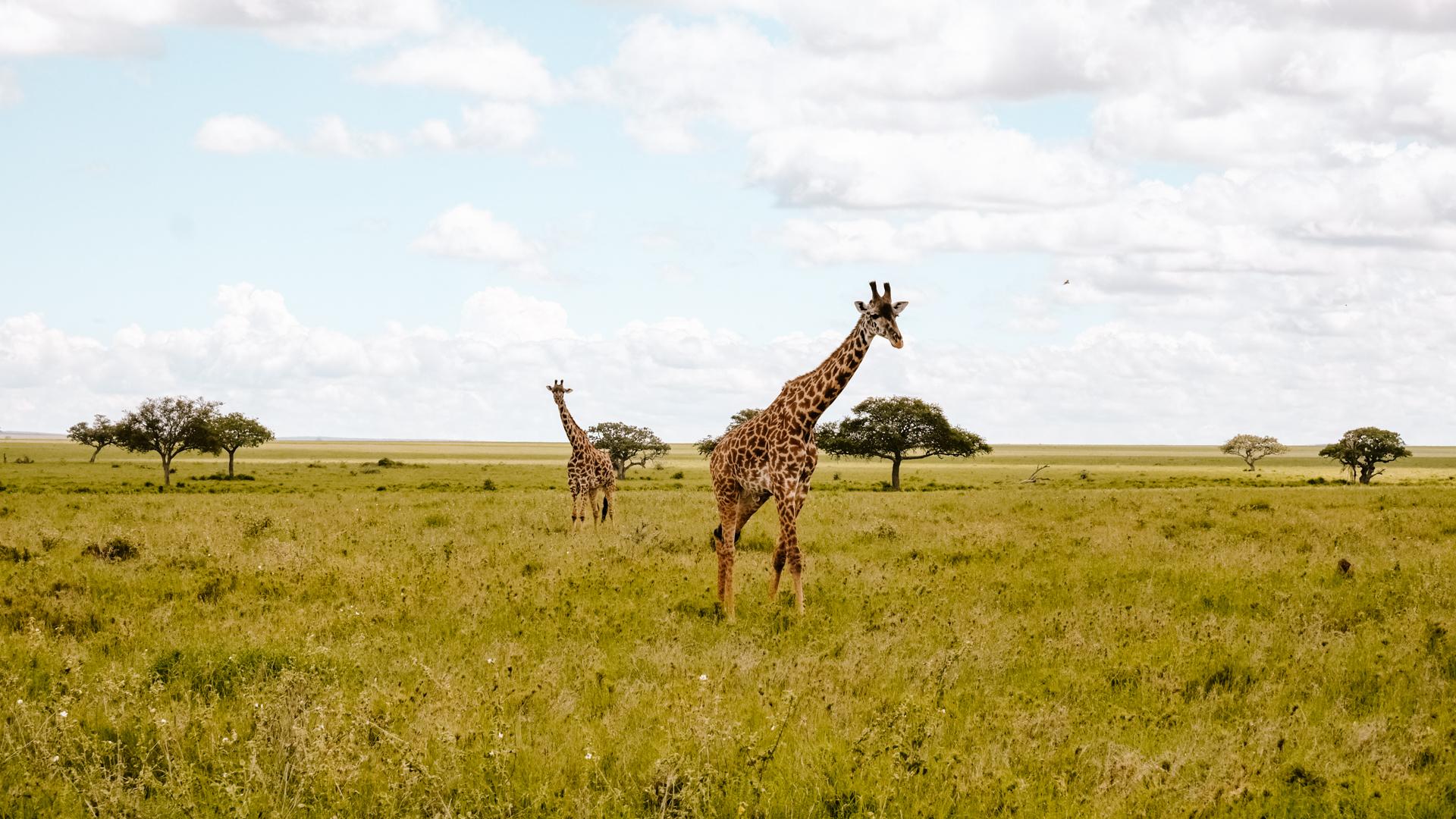 Giraffes on the never ending savanna of the Serengeti National Park, Tanzania