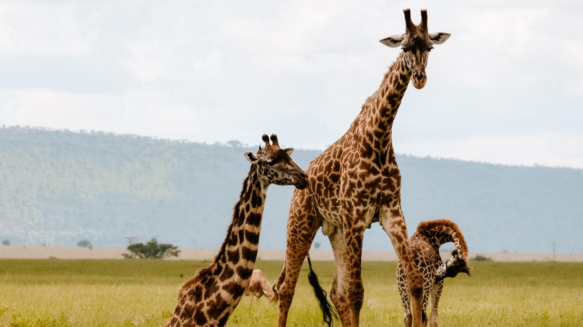 Masai giraffes on the savanna of the Serengeti National Park, Tanzania