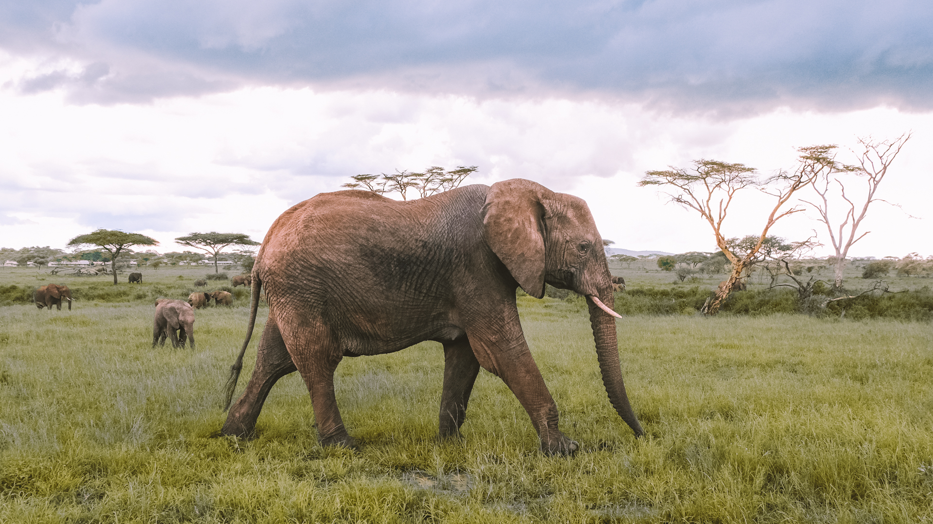A young female savanna elephant checking us out in the Serengeti National Park, Tanzania