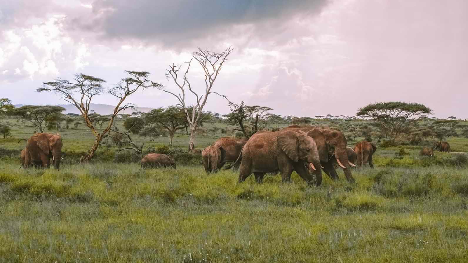 A heard of elephants in the evening light of the Serengeti National Park, Tanzania