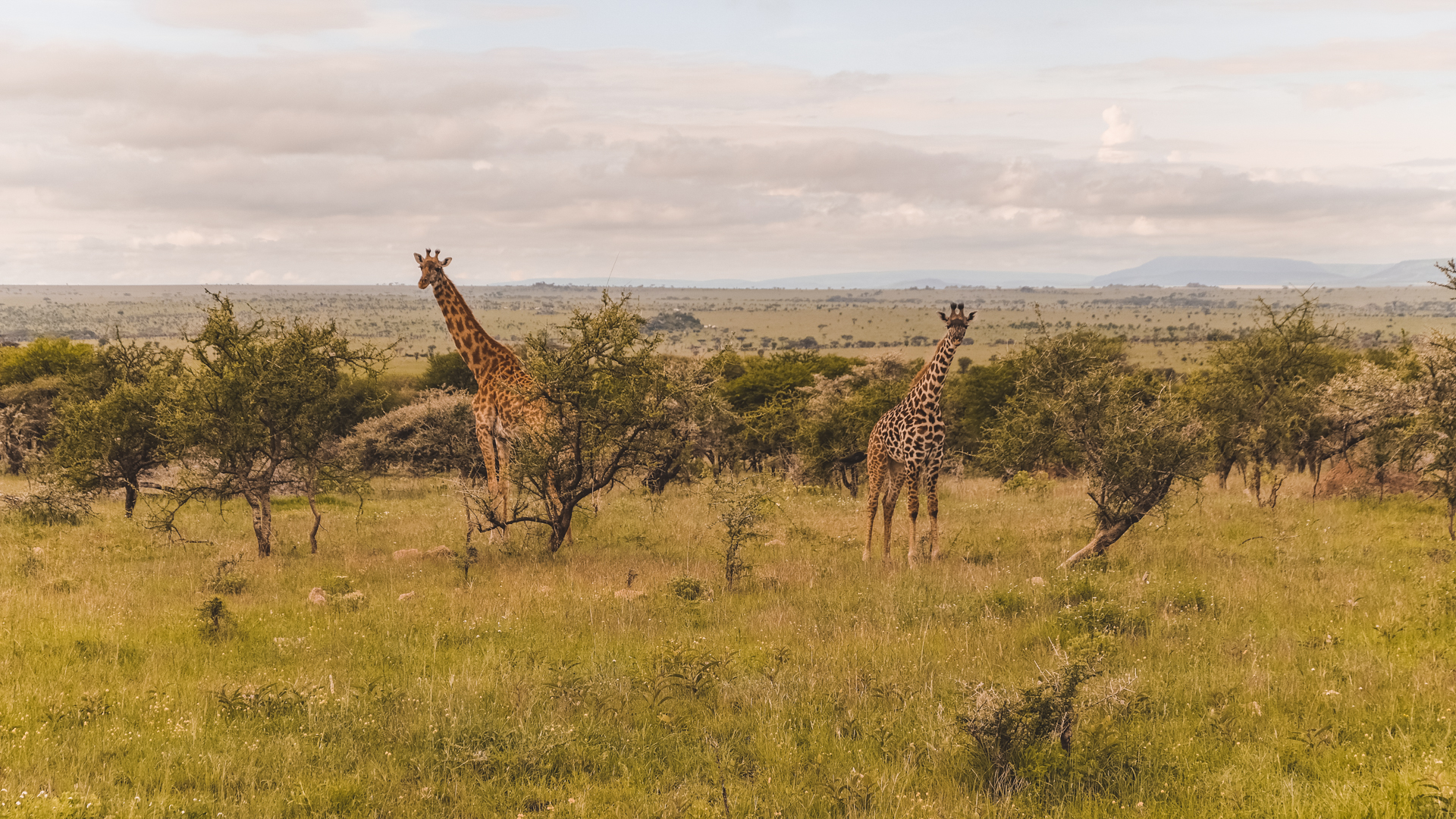 Giraffes on the lookout for acacia in the Serengeti National Park, Tanzania