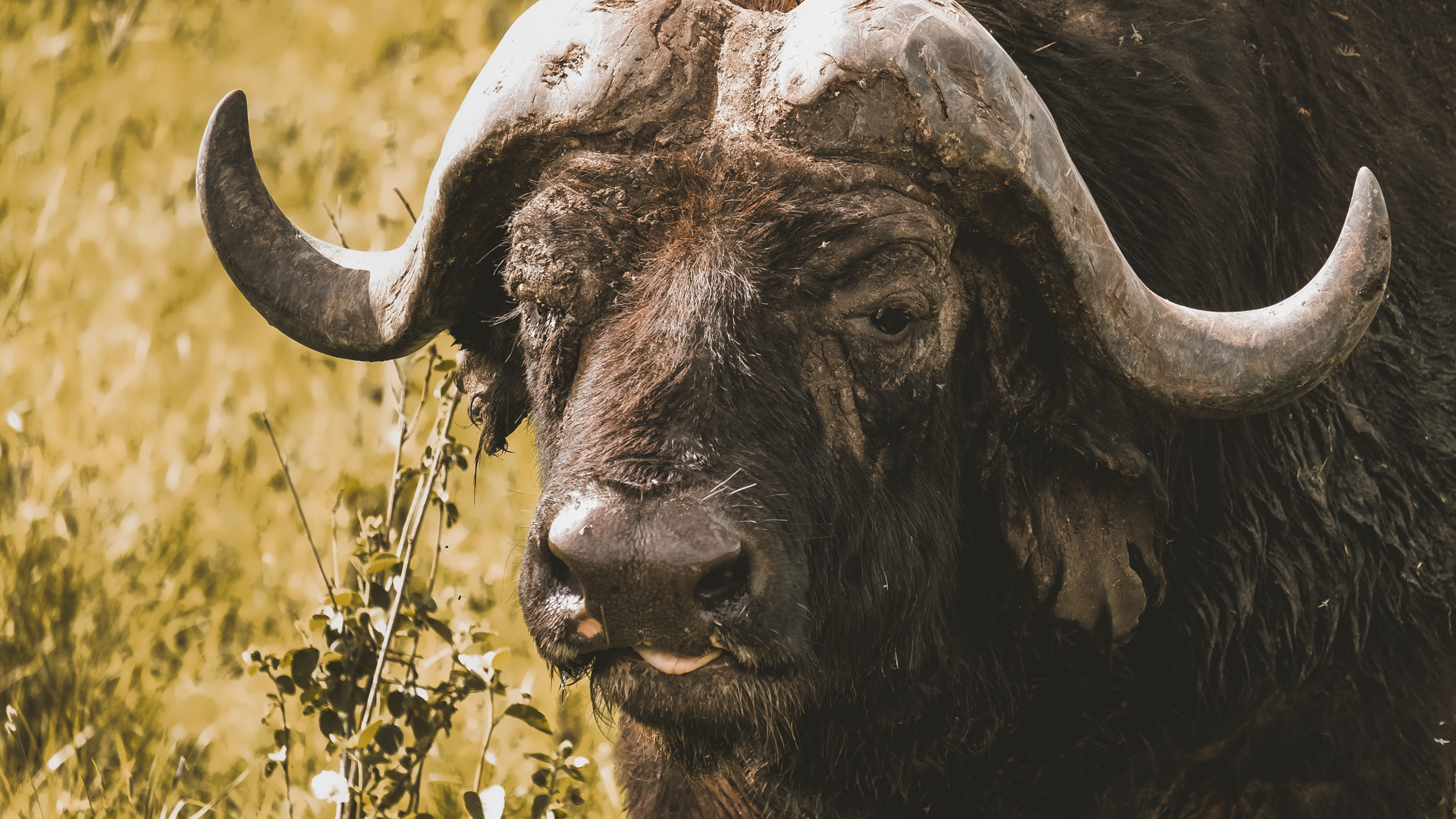 One of the Big Five - a cape buffalo - contemplating life in the Serengeti National Park, Tanzania