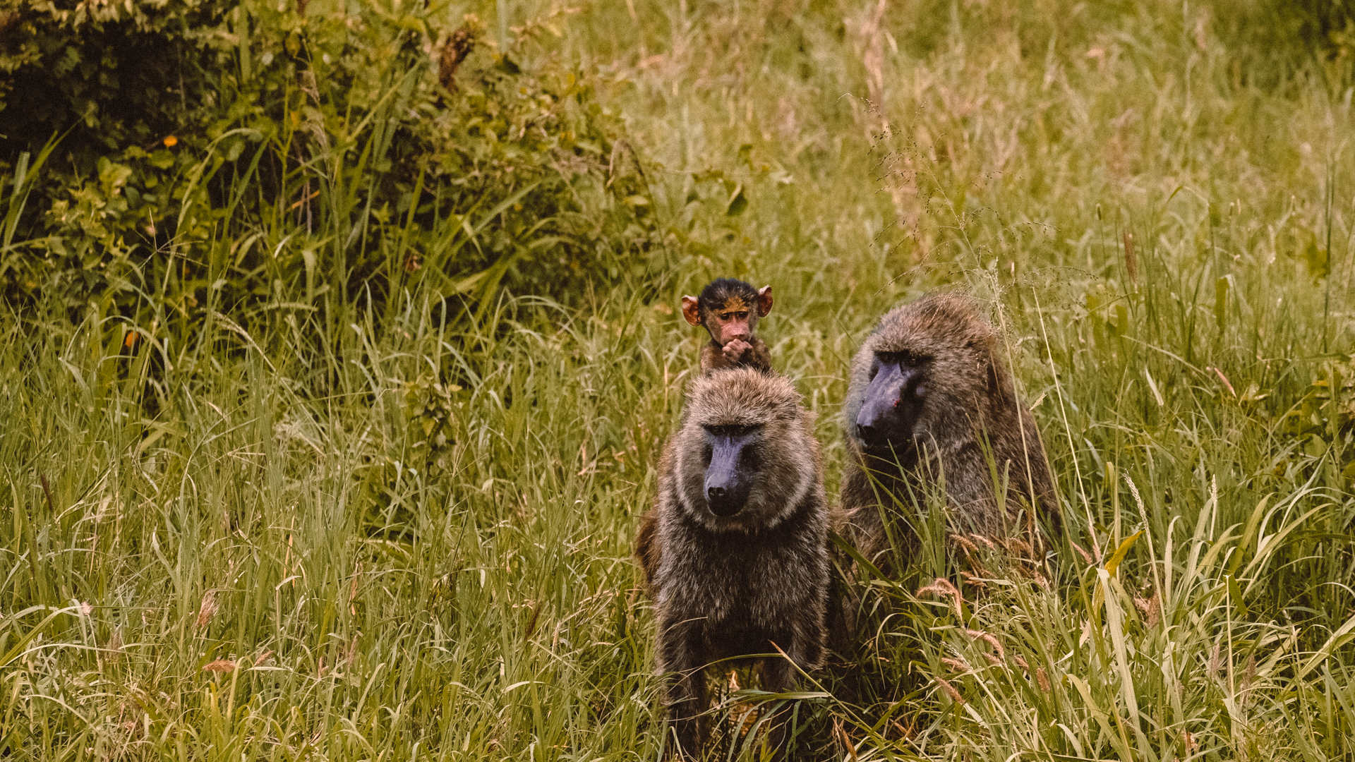 A family of yellow baboon monkeys with a baby in the Serengeti National Park, Tanzania