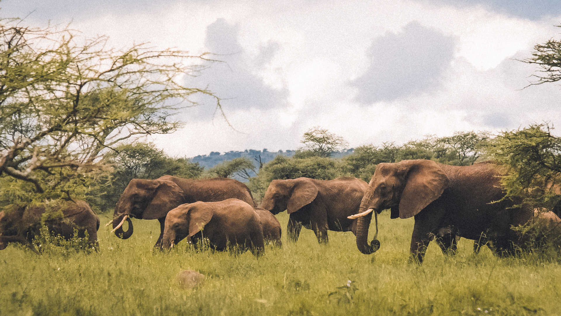 A herd of African savanna elephant passing us in the Serengeti National Park, Tanzania