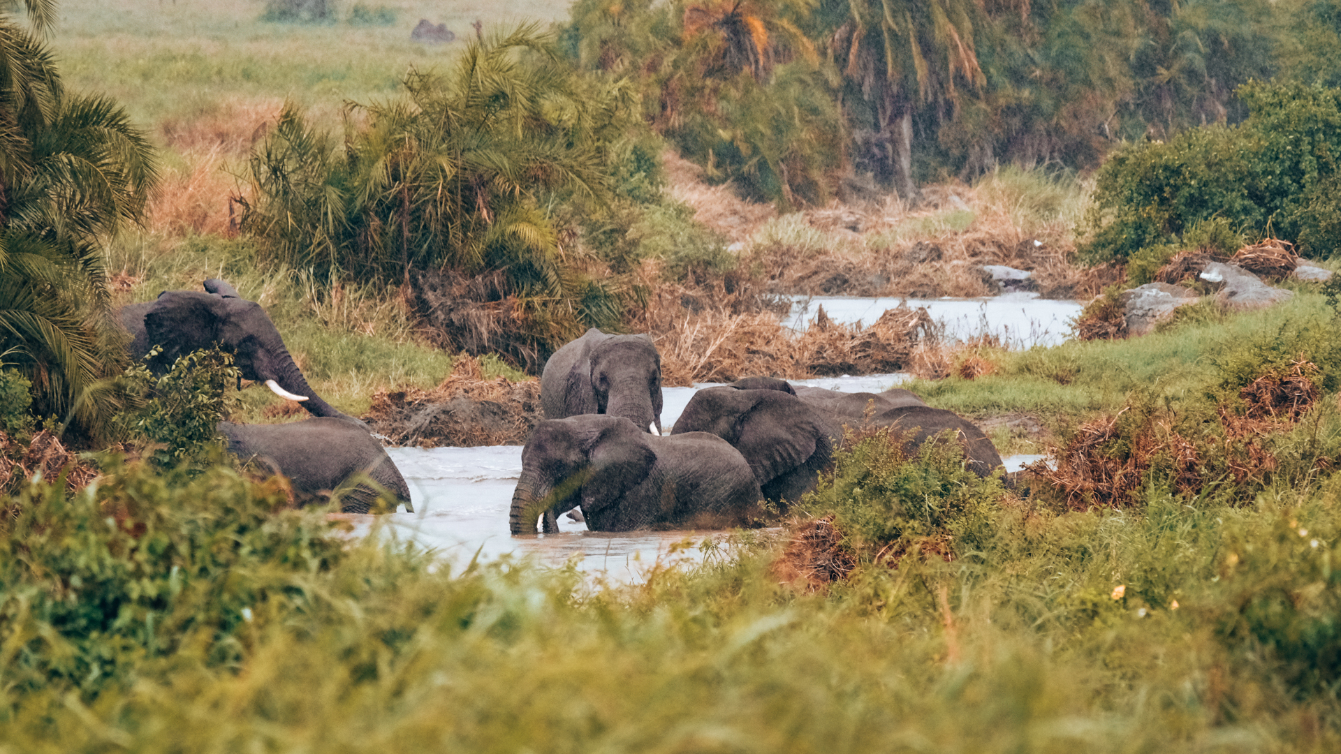 A group of elephants having a bath in the river in the Serengeti National Park, Tanzania