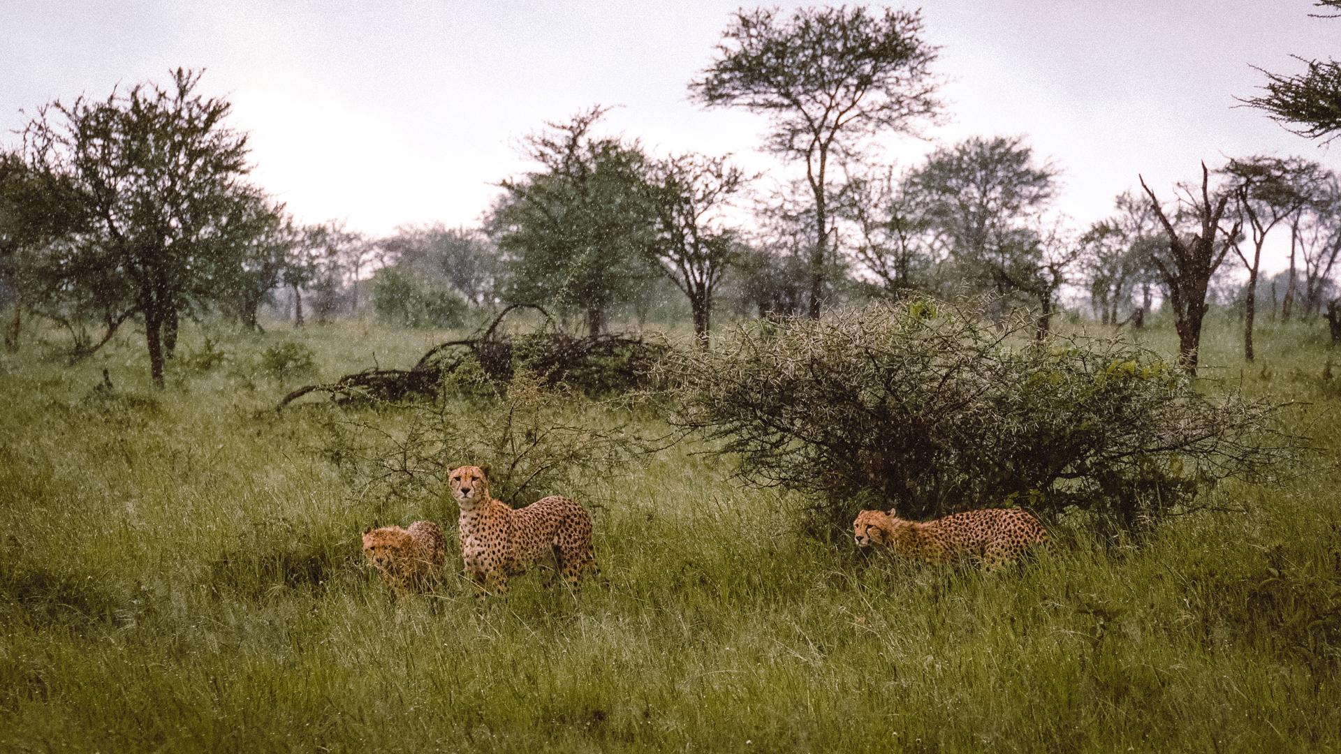 Cheetahs checking us out in the Serengeti National Park, Tanzania