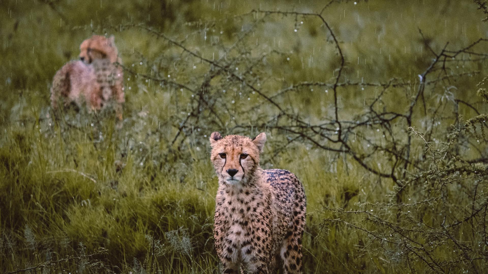Two cheetahs in the rain in the Serengeti National Park, Tanzania